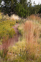 Path through drought tolerant meadow garden with Indian Grass (Sorghastrum nutans), Little Bluestem grass (Schizachyrium scoparium) and Dwarf Goldenrod (Solidago spathulata) and Juniper hedge (Juniperus monosperma)