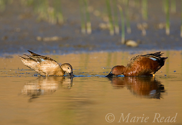 Cinnamon Teal (Anas cyanoptera), pair foraging, Orange County, California, USA
