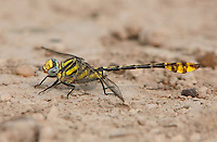 334250003 a wild male tamaulipan clubtail gomphus gonzalezi perches on the ground near the naba site and bentsen rio grande valley state park lower rio grande valley in south texas