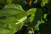 Aldeia Baú, Para State, Brazil. A green cricket sits on a leaf.