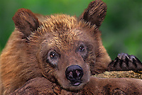609689015 a juvenile federally endagered wildlife rescue brown bear ursus arctos relaxes on a log in its enclosure at a wildlife rescue facility