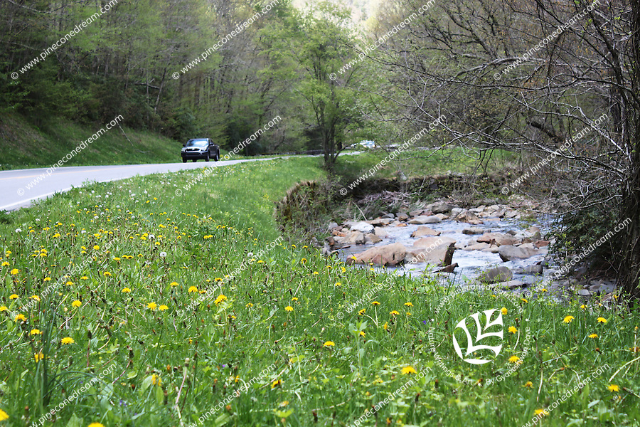 Stock image of car passing through smoky mountain national park, yellow hawkweeds and grass grown by the side of road and river flows alongside.