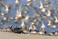 Horseshoe Crab, and shorebirds in flight, Kimble's Beach, New Jersey
