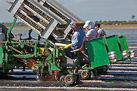 Migrant Labor Planting Tomatoes, Homestead, FL