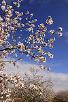 Israel, Almond trees in the Lower Galilee