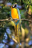 Ariau, Amazonas State, Brazil. Blue and yellow Macaw; Arara-canindé (Ara ararauna).