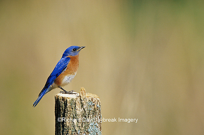 01377-15204 Eastern Bluebird (Sialia sialis) male on fence post Marion Co. IL
