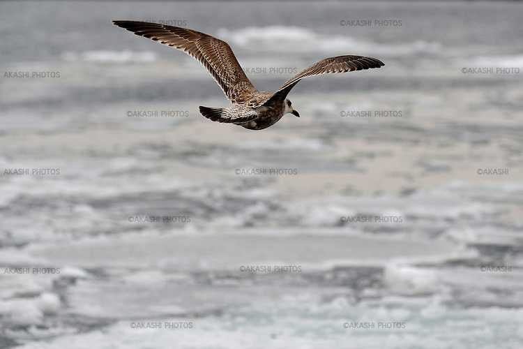 A seagull flying away from a piece of ice. Harbour full of floating ice in the Rausu coast. Hokkaido. Japan.