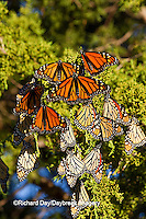 03536-05305 Monarch butterflies (Danaus plexippus) roosting in Eastern Red Cedar tree (Juniperus virginiana),  Prairie Ridge State Natural Area, Marion Co., IL