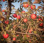 8.26.12 - Apple Tree...