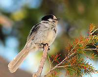 Gray jay Pacific form adult