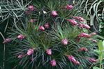 72-AG Tillandsia stricta, Bromeliad, in garden of W R Paylen, CA