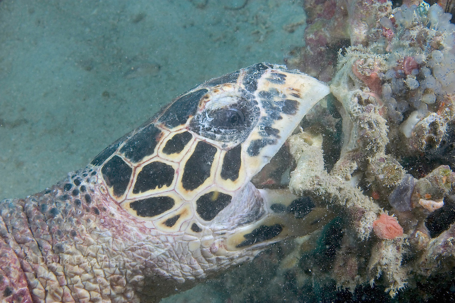 A hawksbill turtle, Eretmochelys imbricata, breaking coral in search of food.  Sipidan Island, Malaysia.
