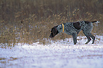 German Shorthair Pointer<br /> <br /> <br /> Shopping cart has 3 Tabs:<br /> <br /> 1) Rights-Managed downloads for Commercial Use<br /> <br /> 2) Print sizes from wallet to 20x30<br /> <br /> 3) Merchandise items like T-shirts and refrigerator magnets
