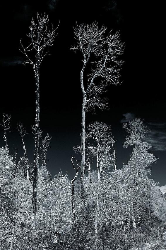 The Monarchs - Aspens, Boulder Mountain, Utah