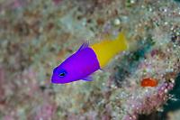 Royal Dottyback, Pseudochromis paccagnellae, Point dive site, Uhak Reef, Uhak village, Wetar Island, near Alor, Indonesia, Banda Sea, Pacific Ocean
