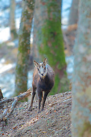 Young chamois pauses on forest path