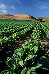 Rows of vegetables planted at Fambrini's Produce Stand, Davenport Santa Cruz County coast, California