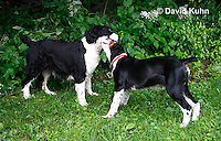 0808-0819  English Springer Spaniels Playing, Canis lupus familiaris © David Kuhn/Dwight Kuhn Photography.
