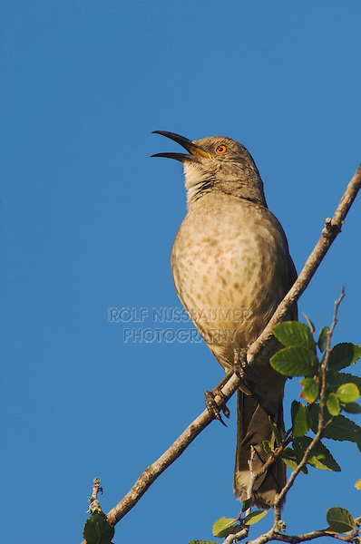 Curve-billed Thrasher, Toxostoma curvirostre, male singing, Willacy County, Rio Grande Valley, Texas, USA, June 2006
