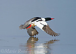 Common Merganser (Mergus merganser) male taking flight from water, New York, USA