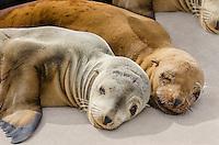 Young California sea lion (Zalophus californianus) pups sleeping on boat dock.  Central California Coast.