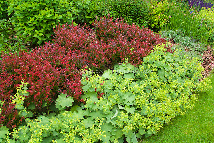 Red Berberis barberry shrub and yellow Alchemilla mollis ladys mantle in bloom, with shrubs, spiraea, lawn grass
