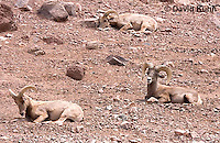 0607-1105  Bighorn Sheep (Mountain Sheep), Ovis canadensis  © David Kuhn/Dwight Kuhn Photography