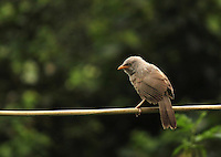 Stock photo: Cute jungle babbler sitting on a cable wire.
