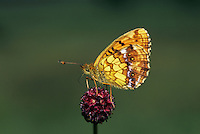 Violet Fritillary, Clossiana dia, adult on Great Burnet  (Sanguisorba officinalis) , Rothenturm, Switzerland, May 1990