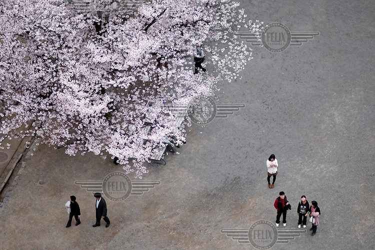 Visitors in the grounds of Kumamoto Castle (Kumamoto-jo) stand next to a Cherry blossom tree. /Felix Features