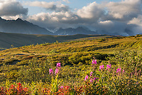 A few remaining fireweed plants blossom pink in the tundra of Sable Pass in Denali National Park, Alaska.