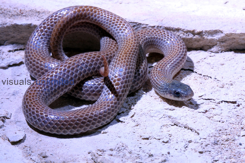 A Ground snake ,Sonora semiannulata,.