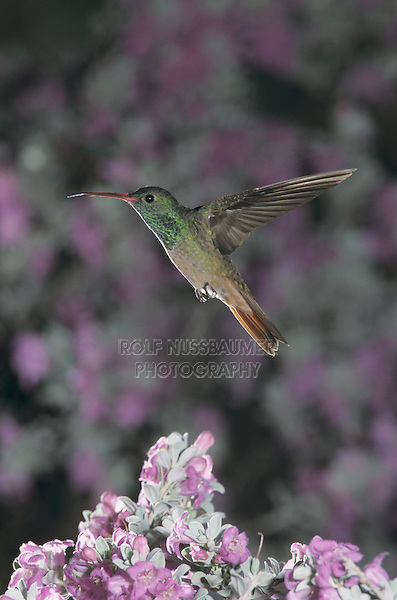 Buff-bellied Hummingbird, Amazilia yucatanenensis, adult over Texas Sage (Leucophyllum frutescens), Weslaco, Rio Grande Valley, Texas, USA