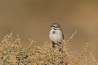 578830021 a wild sage sparrow amphispiza belli nevadensis perches on a sagebrush branch in kern county california