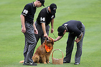 Memphis Redbirds had Jake the Wonder Dog delivering umpires Jason Millsap, Shaun Francis, and Angel Campos with a drink during a game versus the Round Rock Express at Autozone Park on April 30, 2011 in Memphis, Tennessee.  Memphis defeated Round Rock by the score of 10-7.  Photo By Mike Janes/Four Seam Images