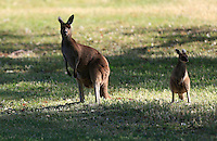 Skippy and young skippy in the rough off the 9th during Round 1 of the ISPS HANDA Perth International at the Lake Karrinyup Country Club on Thursday 23rd October 2014.<br /> Picture:  Thos Caffrey / www.golffile.ie