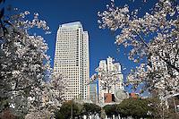 Cherry blossoms at San Francisco Museum of Modern Art, San Franciso, California