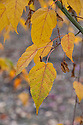 Pere David's maple (Acer davidii 'George Forrest'), autumn foliage, early May. Also known as snake-bark maple.