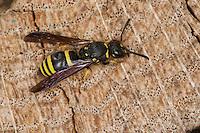 Lehmwespe, Lehm-Wespe, Ancistrocerus spec., Solitäre Faltenwespe, Eumenidae