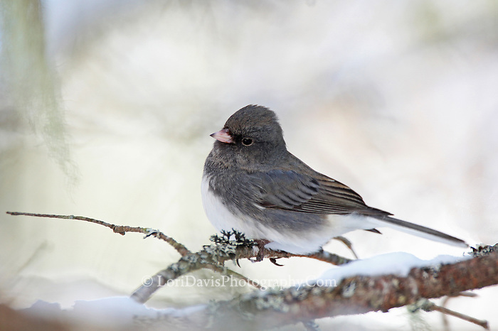 Dark-Eyed Junco  #B58