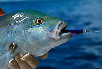 A Bluetail Trevally caught on a surface plug from the reef at Palau, Micronesia.