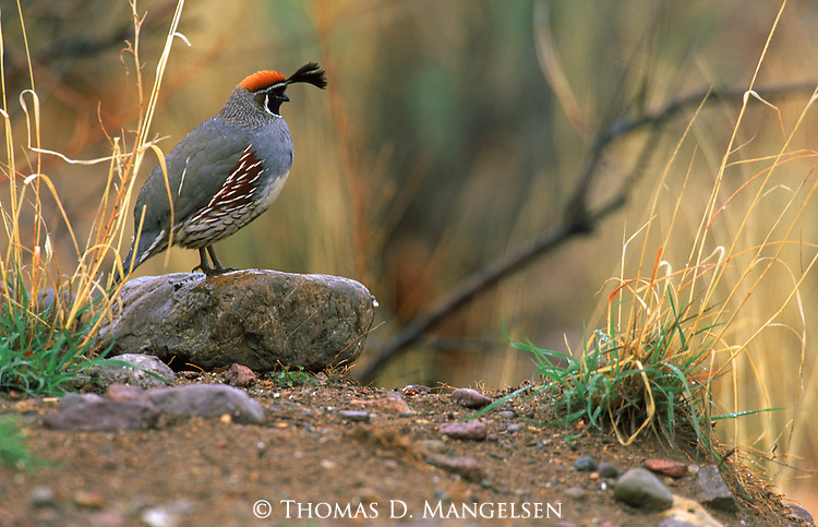 A gambel's quail perches on a rock in Southeast Arizona.