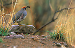 A gambel's quail perches on a rock in Southeast Arizona.