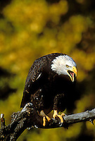 521040049 a captive bald eagle hailaeetus leucocephalus a threatened species calls from a perch againsta a backdrop of fall colored leaves in colorado this raptor is a wildlife rescue