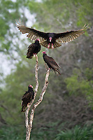 Turkey Vulture preparing to land