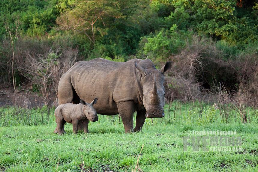 White Rhinoceros (Ceratotherium Simum)..Mother and Calf. Near Threatened...Hluhluwe Imfolozi Game Reserve..Kwazulu-Natal, South Africa..November 2010.