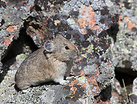 We normally take time to look for pikas during my spring tours.