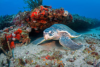 Kemp's ridley sea turtle, Lepidochelys kempii, Palm Beach, Florida, USA, Caribbean Sea, Atlantic Ocean