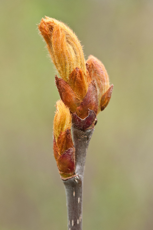 Unfurling leaf bud of mountain ash (Sorbus 'Bellona'), mid March.